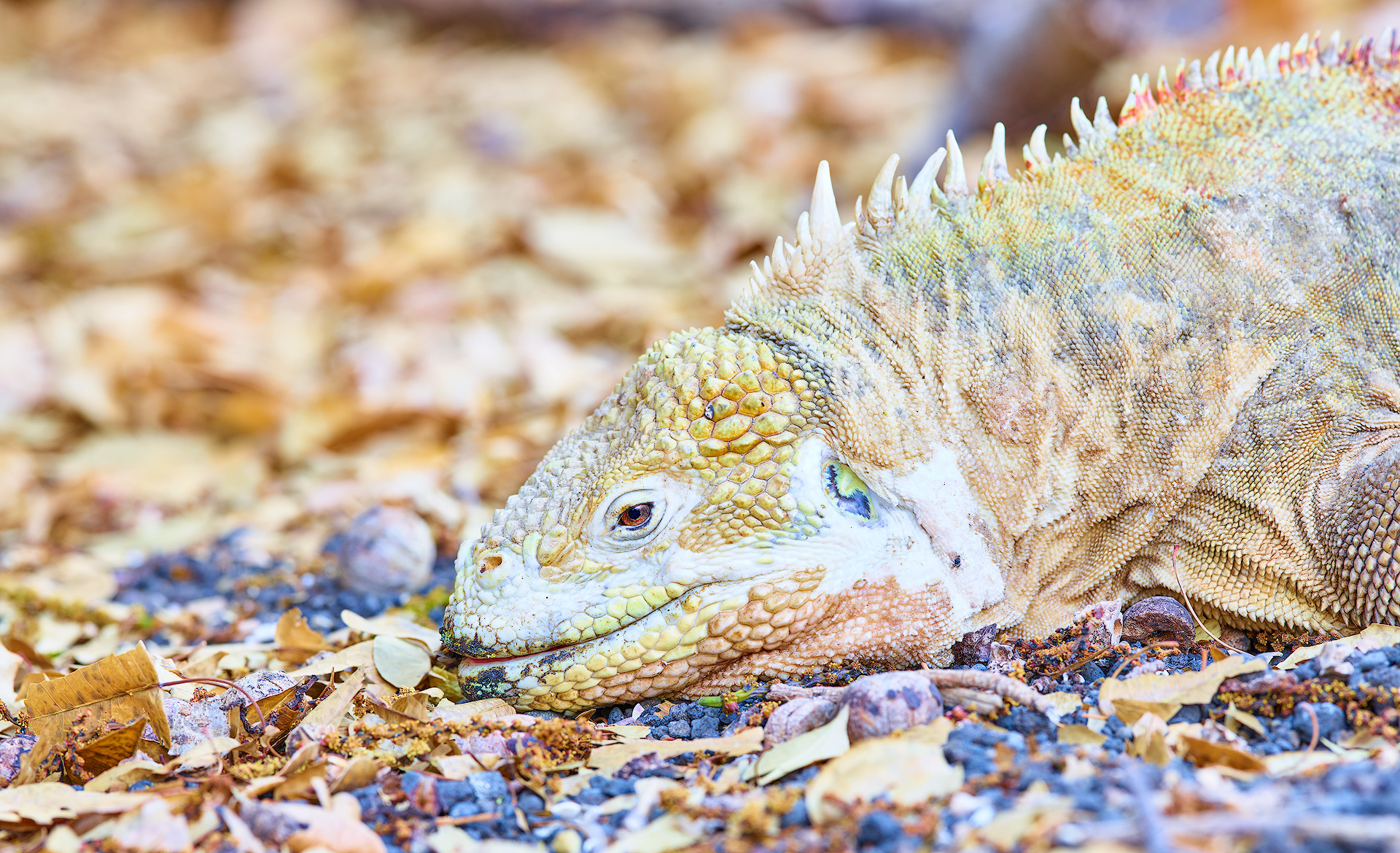 Land Iguana Yellow