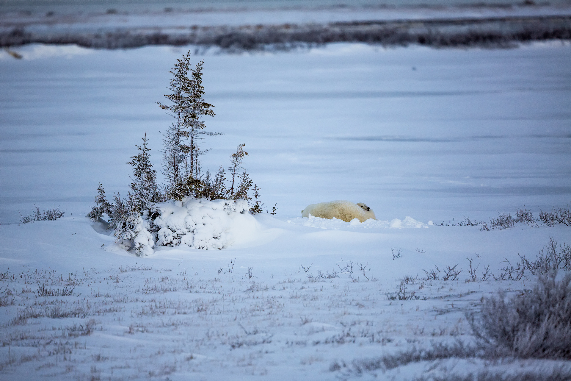 Andrei Duman Polar Bears Churchill, Canada 01